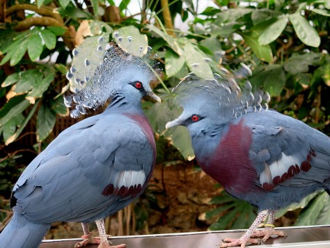 The National Aviary in Pittsburgh lets you see up close, without any caging between you, such exotic birds as the Victoria Crowned Pigeon © 2016 Karen Rubin/goingplacesfarandnear.com