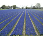 Muscari Fields
