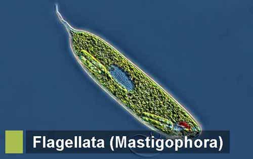 filum mastigophora