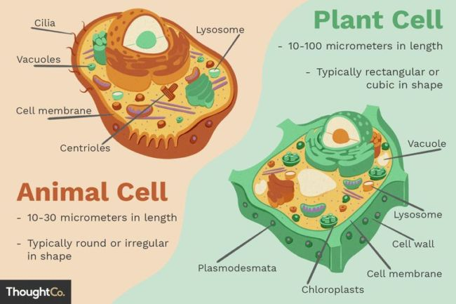 Perbedaan Sitoplasma Tumbuhan dan Sitoplasma Hewan