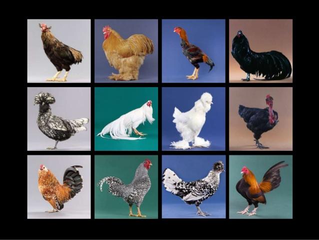 Keanekaragaman hayati tingkat gen pada ayam