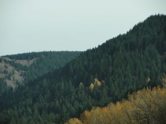 A few yellow trees amongst the evergreens