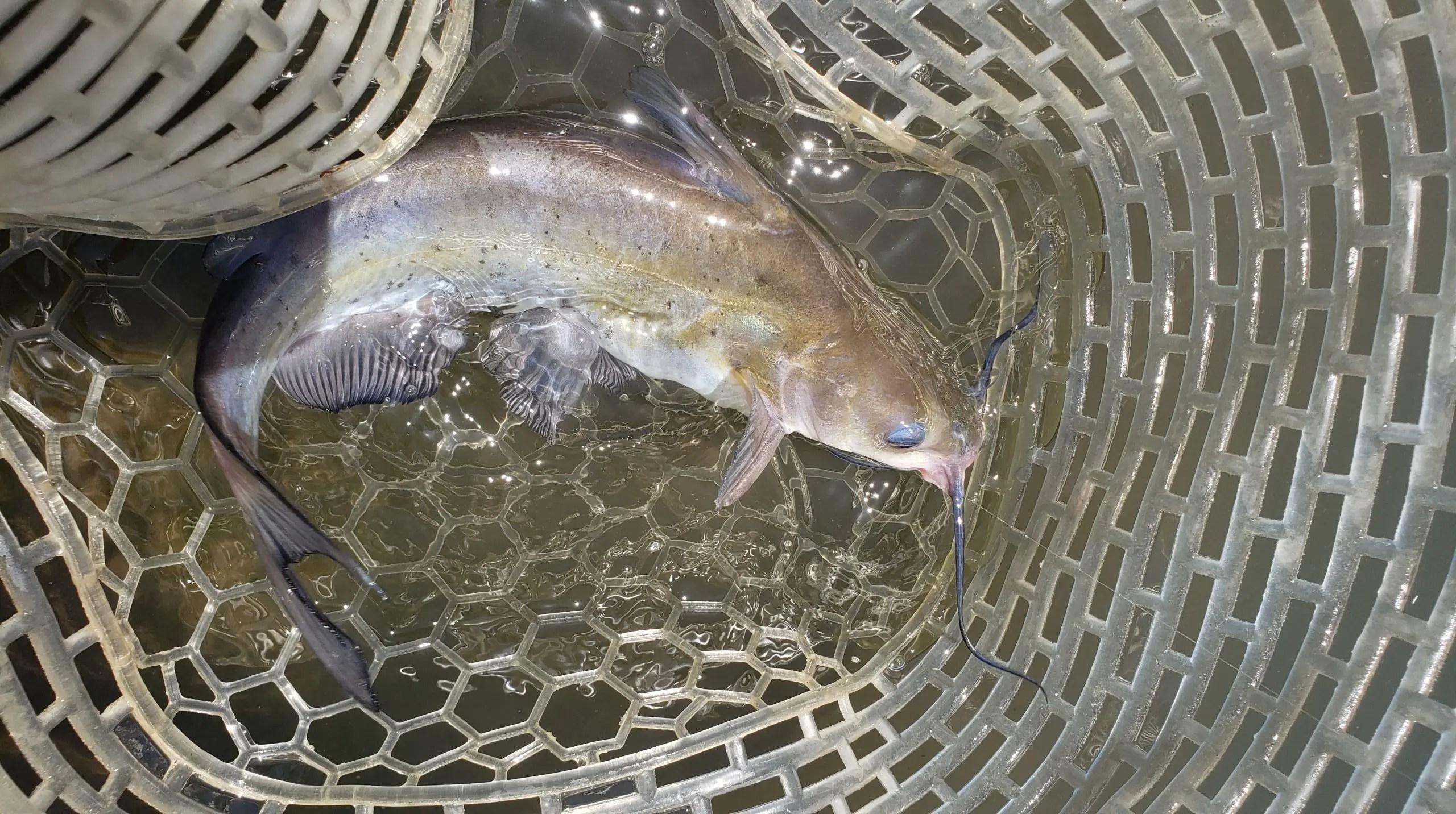 渡良瀬川で釣れたアメリカナマズ