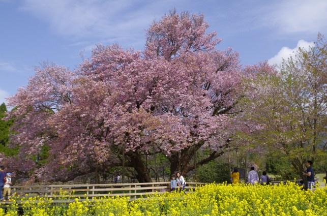 Isshingyo sakura blossoms