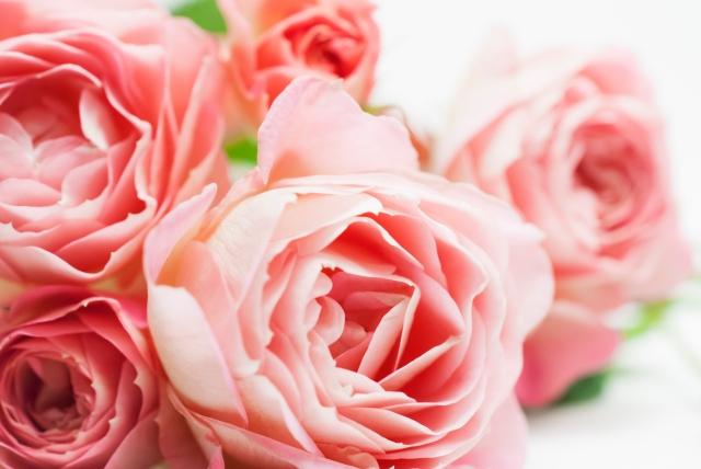 敬老の日にピンクのバラ