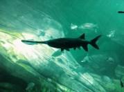 Platypus + Fish = Platyfish! (**straight from the Encyclopedia Carmenica)