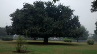 That one big banian tree