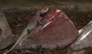A sweet lizard, totally camo-ing this brick.