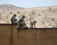 Monkey at Amer Fort
