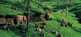 Чайные плантации Цейлона. Лийонта. Регион Рухуна.