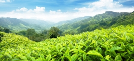 Чайные плантации Цейлона. Гунавардена. Регион Рухуна.