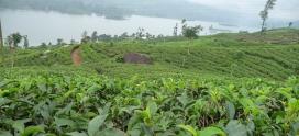 Чайные плантации Цейлона. Сомерсет. Регион Димбула.