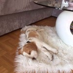 K-Wurf XXL Kerry neues Zuhause in Eilenburg 19
