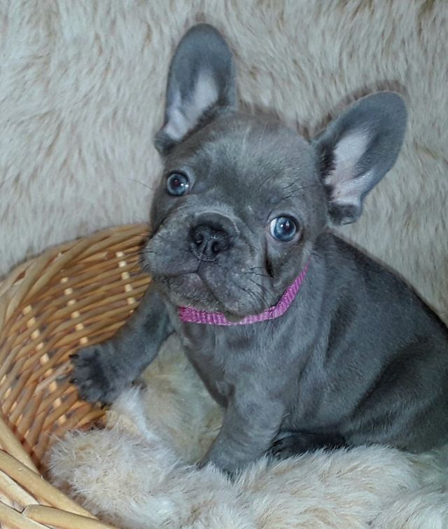 buy exceptional quality and colours french bulldog puppies