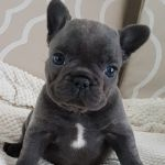 Beautiful Blue French Bulldog Puppies Girls Ready Now