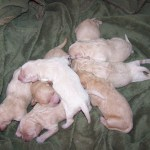 Brights Doodles N Poodles Newborn Cream Goldendoodle F1 Backcross Pups Ready For Christmas Cute