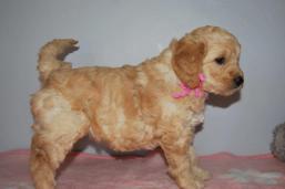 Candy-klein-pupies-5-weeks-028
