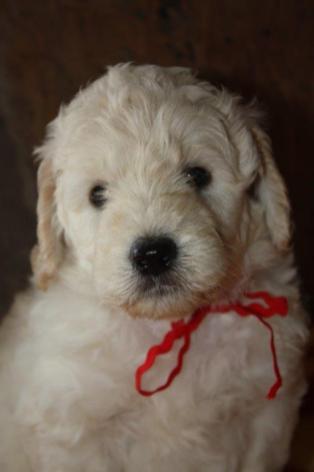 CocoBongo-pupies-F1B-5-weeks-018