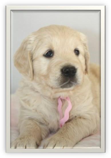 Golden Retriever puppy- age 6 weeks