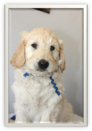 Golden Doodle puppy- age 6 weeks