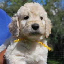 candy-doodle-puppies-041