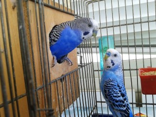 blue breasted parrots