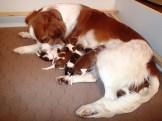Kooiker Puppies Feeding