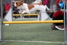 Lentaevaen Luppakorvan Liitolikka -Ella clears a hurdle in the agility competition.