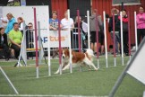 Phoenix-Shila Van Youngmuskyteira weaves through the agility poles.