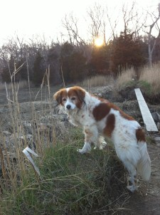 Nelleke posing before crossing a stream in Winter. A female Kooikerhondje.