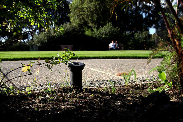 A sprinkler head hides in the gardens above the Student Health Center on camp at SF State. Many of the irrigation systems on campus have been converted to reduce water use says, SF State sustainability coordinator, Sharon Darophonhdeth. Lorisa Salvatin / Xpress