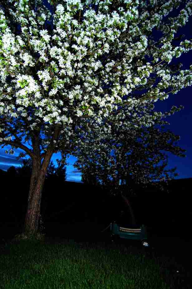 blue hour apple blossom night photography trees