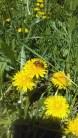 Close-up bumble bee on yellow dandelions ©K.HAZAMY PHOTOS