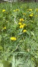 yellow dandelions with bees in yard ©K.HAZAMY PHOTOS