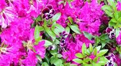 Monets trädgård - penseer bland rosa blommor