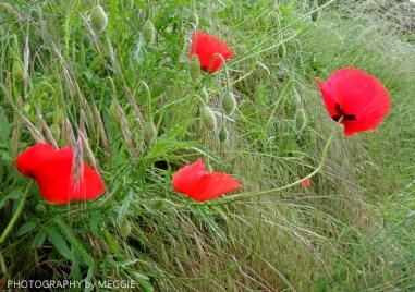 Monets trädgård - Vallmo vid vägkant