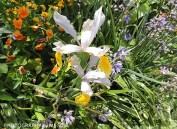 Monets trädgård - vit iris