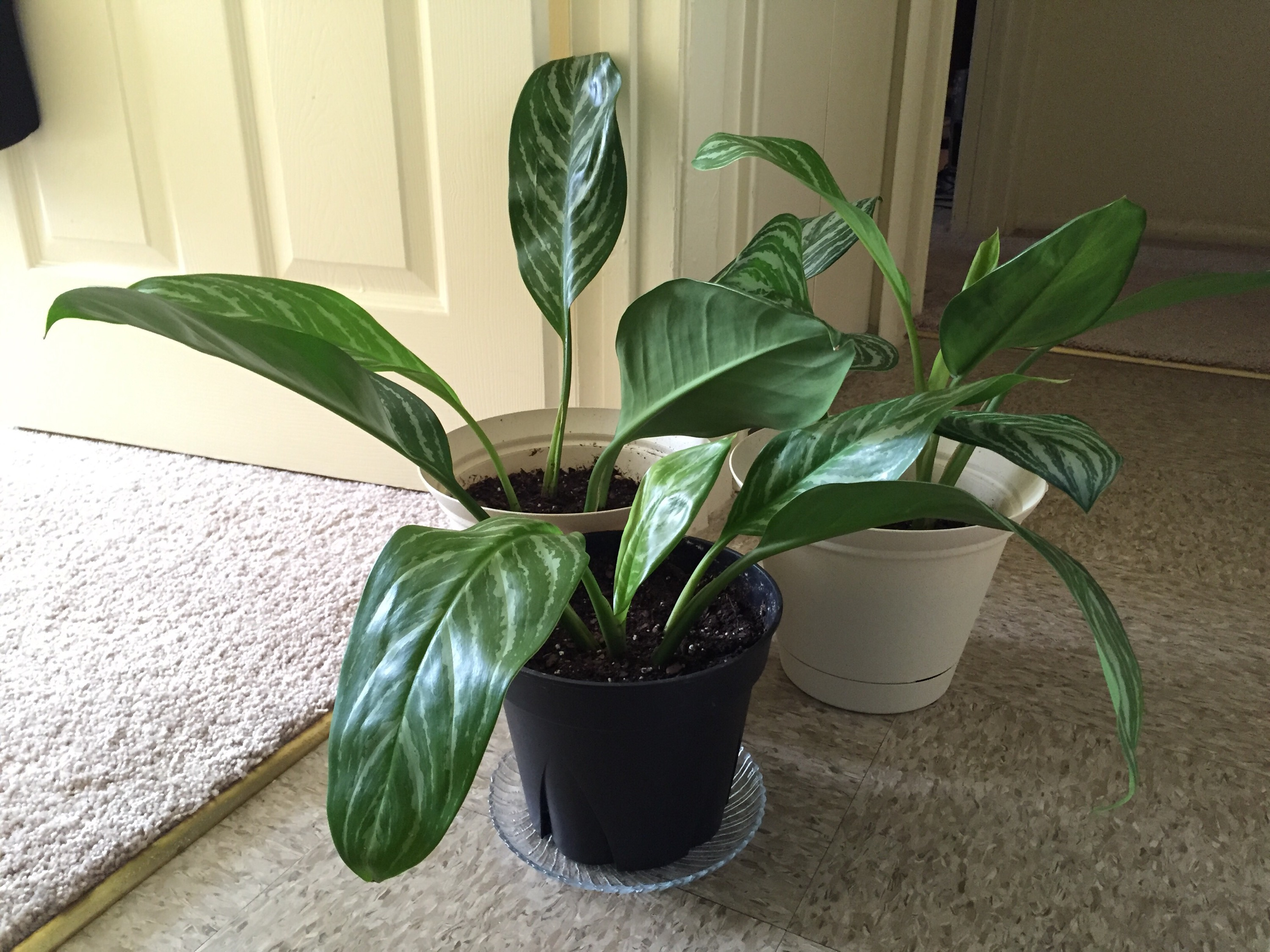 Transplanting a Chinese Evergreen