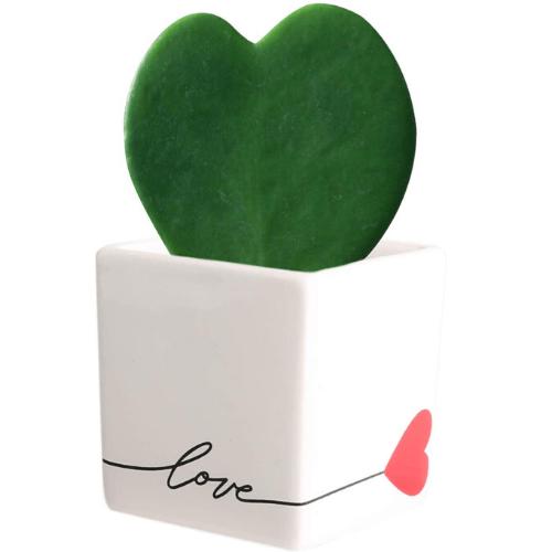 Live Hoya Heart Plant