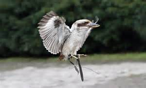 "the ""laughing"" kookaburra bird"