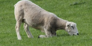 sheep-knees-in-grass