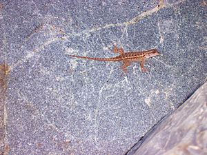 This lizard was at Savage Rapids, east of Happy Camp, CA