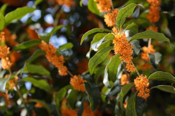 The Flowers of Augusta: Tea Olive