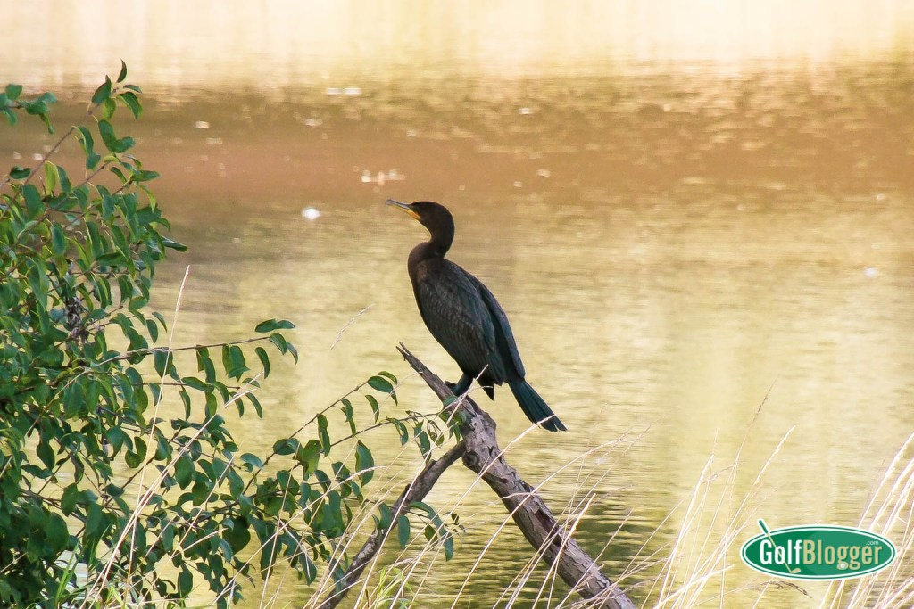 Cormorant On The Golf Course