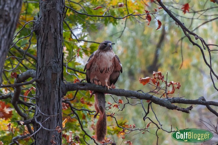 Stalked By The Hawk At Washtenaw