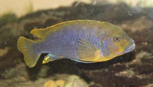 Iodotropheus sprengerae Male