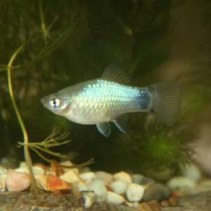 Female Blue Maculatus