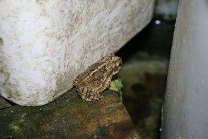 Gulf Coast Toad