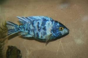 Blue OB Peacock Cichlid