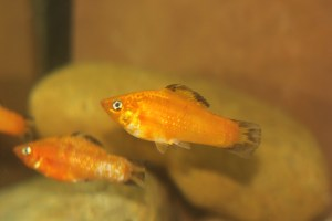 Two juvenile Orange Sailfin Mollies